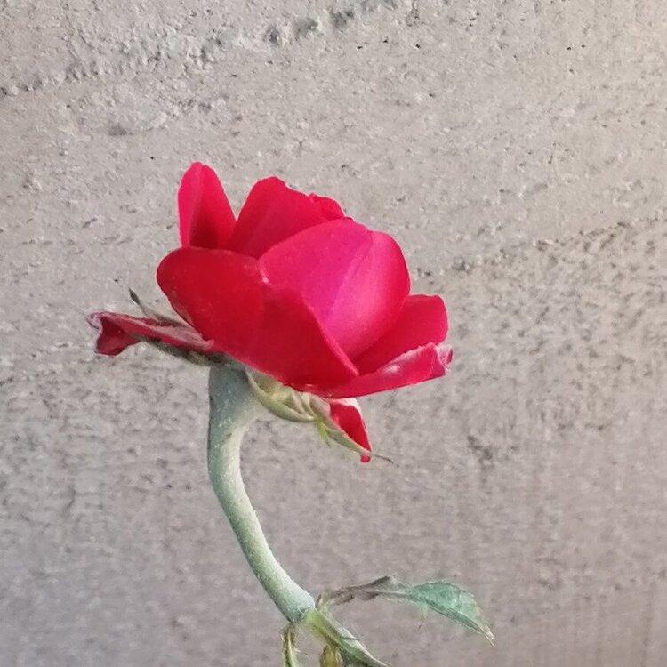 rosa-windsor.thumb.jpg.cf4d1a23a64fb8ca8a40ad0685ff500b.jpg
